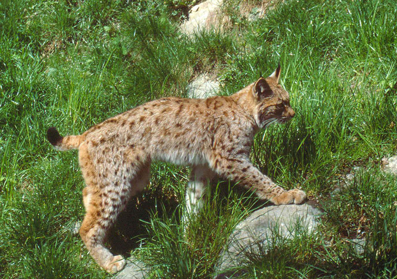 Velebit Lynx