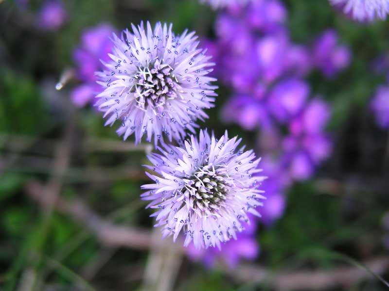 Velebit-Flora