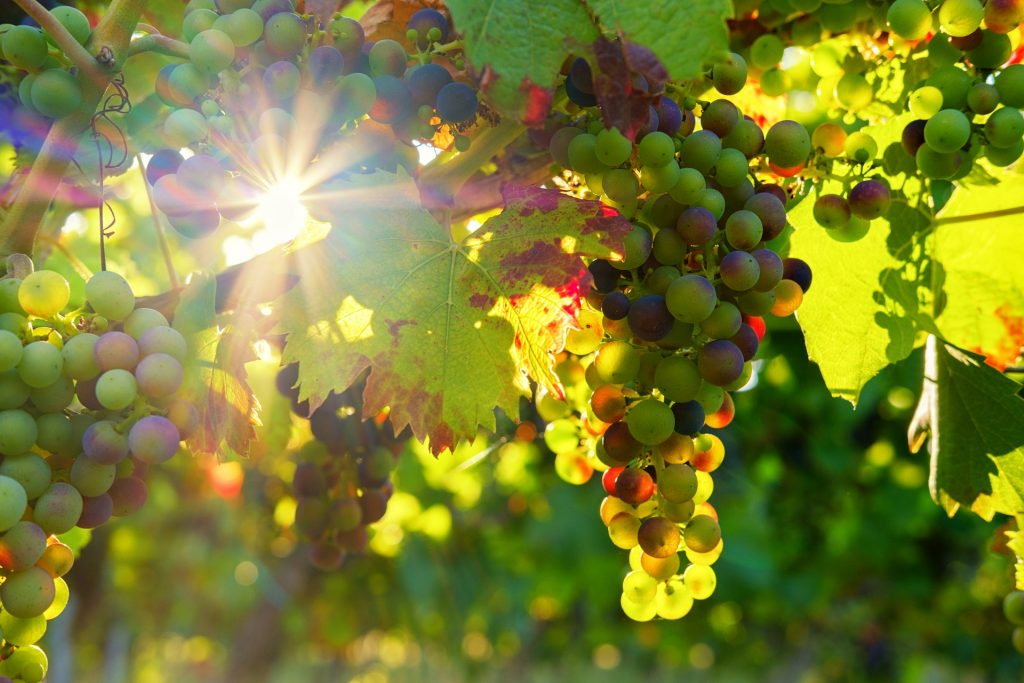 Grapes in a Vineyards