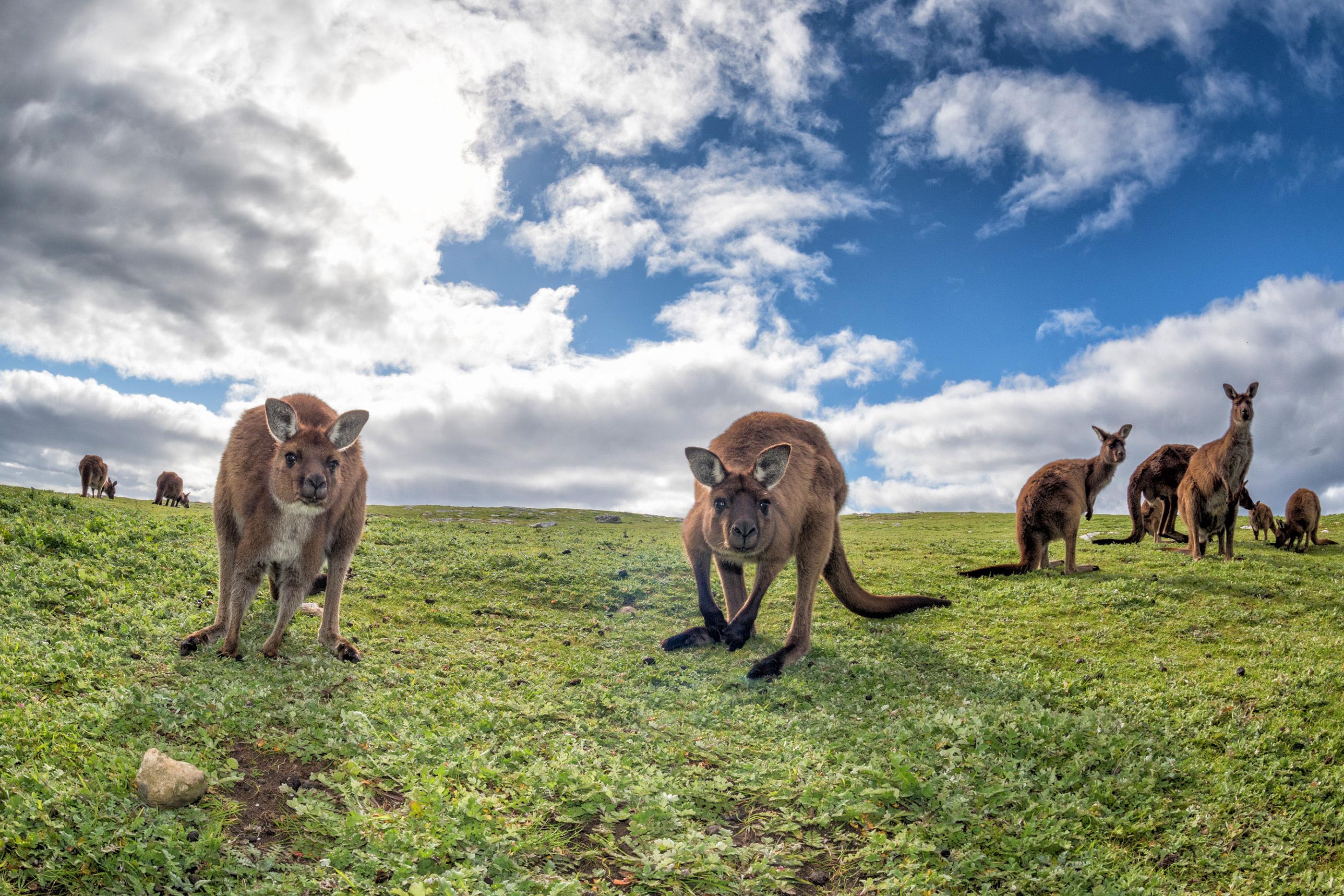Kangaroos on Kangaroo Island