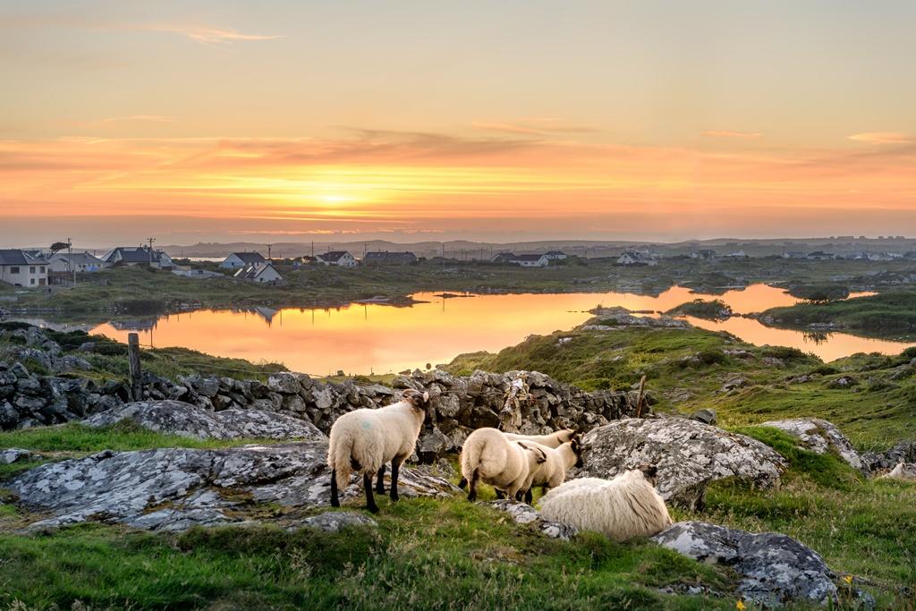 Sheep near Clifden, Roundstone and Connemara